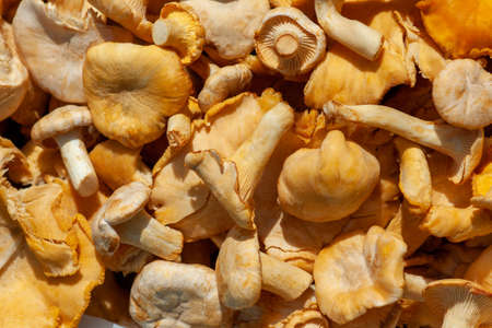 Freshly picked chanterelles - forest mushrooms (Cantharellus cibarius). Close-up on a sunny day.
