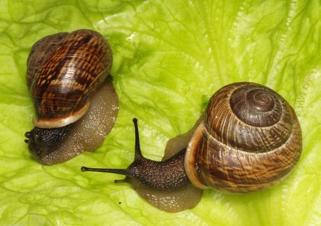 The snails caught on morning in a garden Stock Photo