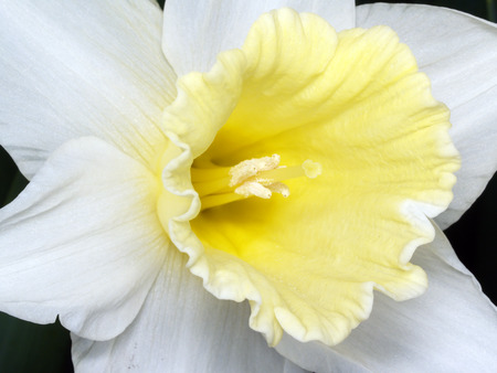 Macro of narcissus Stock Photo - 1432047