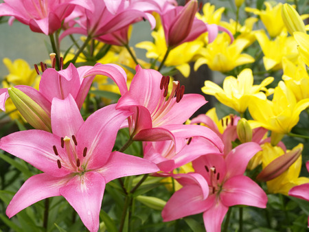 Pink and yellow lilies growing in a garden