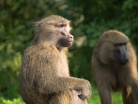 Portrait of monkey in profile