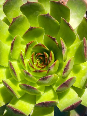 Sempervivum arachnoideum ssp.gnaphalum Stock Photo - 4844793