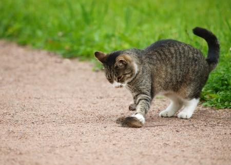 Cat hunts mouse Stock Photo