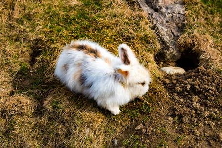 Konijn in het vroege voorjaar een gat graven