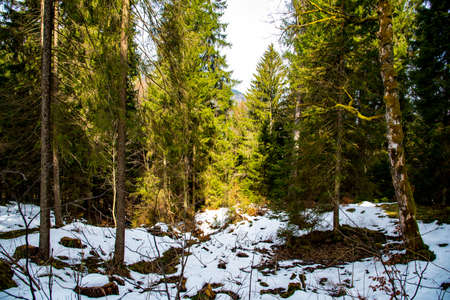 schneeberg: early spring forest in Alps in Bavaria