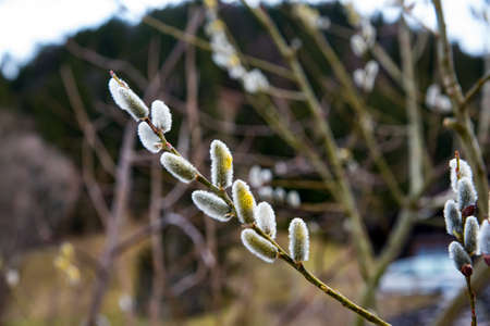 great sallow: Amazing sallow branches. Selective focus at the central buds.