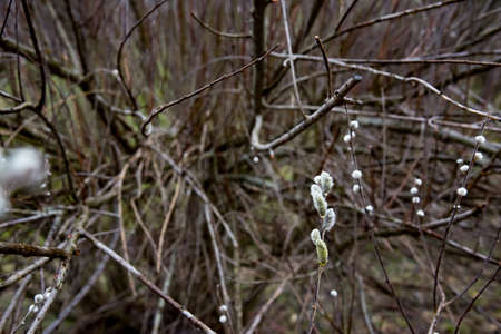 great sallow: amazing sallow branches in Germany in early spring