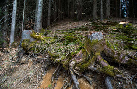 dank: Tree root in the forest, in southern Germany