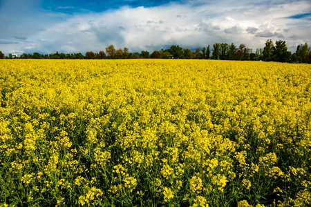 rappi: field of rapeseed with beautiful clouds in Germany
