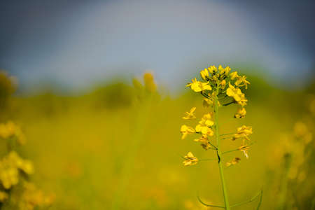 oil rape: Rapeseed field, Blooming canola flowers close up. Rape on the field in summer. Bright Yellow rapeseed oil. Flowering rapeseed
