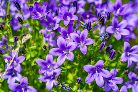 fields of flowers: Campanula purple flowers and blue sky in Germany Stock Photo