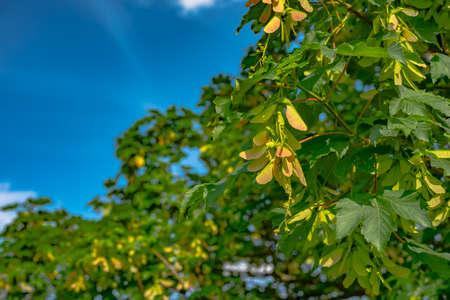 sicomoro: Semi di sicomoro alati sull'albero in Germania Archivio Fotografico