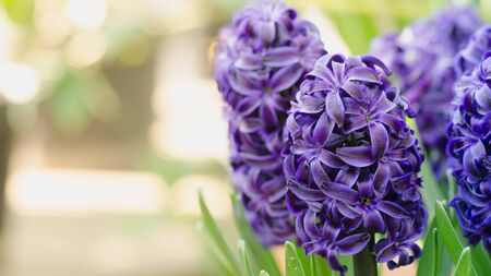 Hyacinth 'Delft Blue' bloomed in the greenhouse
