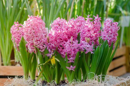 Pink common hyacinth, garden hyacinth, Dutch hyacinth.