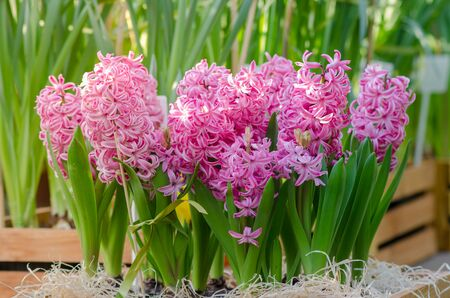 Pink common hyacinth, garden hyacinth, Dutch hyacinth. Stock Photo