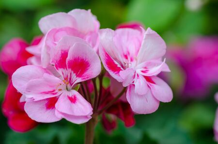 Garden Geranium Flowers close up. White and pink flowers.