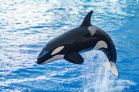 a jumping orca in a blue sea Stock Photo