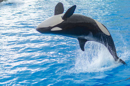 a jumping orca in a blue sea 스톡 콘텐츠