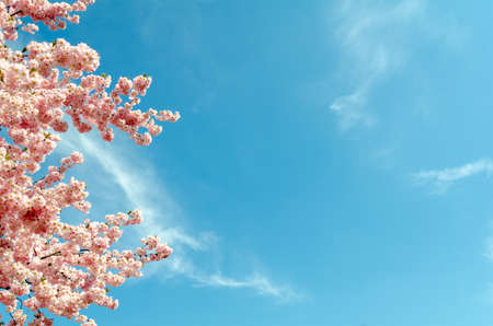cherry blossom tree in springtime with blue sky, copy space