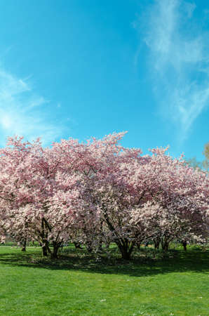 cherry blossom tree in springtime with blue sky
