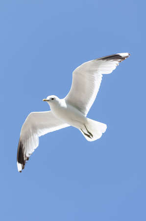 flying white seagull in the blue sky