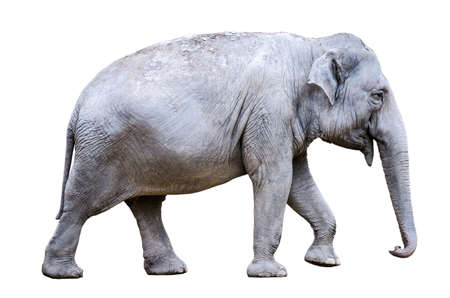 one asian elephant (Elephas maximus) on white background, isolated 版權商用圖片