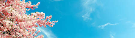 cherry blossom tree in springtime with blue sky,border,  panorama or banner size 版權商用圖片