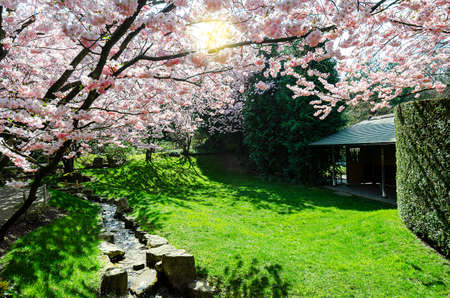 cherry blossom tree in front of a green meadow in springtime 版權商用圖片