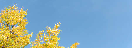 coloured leaves of a tree in autumn in front of a blue sky, panorama, copy space 版權商用圖片