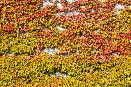 coloured vine leaves in autumn, full frame