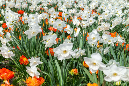 a large field of white daffodils