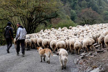 Caucasus, Georgia, Tusheti region, Omalo. Shepherds walking down with the livestock from Omalo to Alvani to spend winter. Publikacyjne
