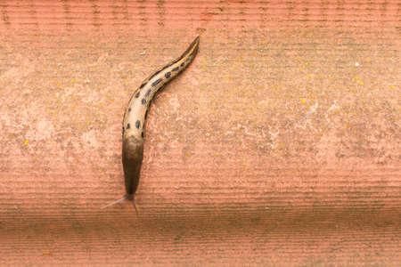 Large spotted slug crawling on the wall .