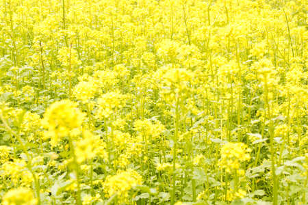 Abstract natural blurred background of flowering rapeseed.