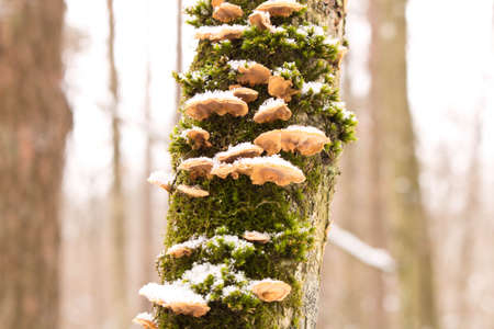 Mushrooms on a fallen tree in the winter forest.