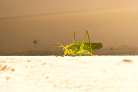 Green locusts sitting on the wall. Close up