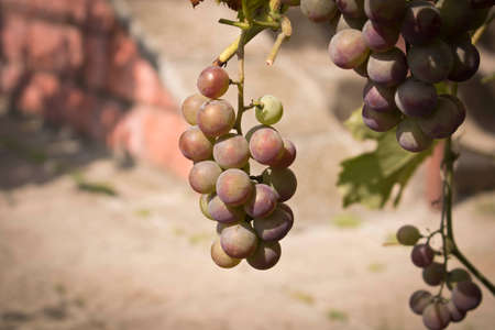 Bunches of ripe grapes on a branch among the green foliage