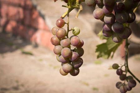Racimos de uvas maduras en una rama entre el follaje verde