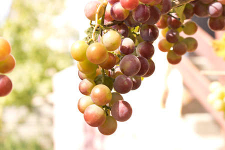 Bunches of ripe grapes on a branch among the green foliage Imagens
