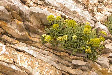 Yellow flowers breaking through the rocks. Flowers in the mountains. Selective focus