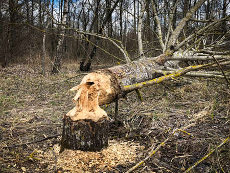 Tree gnawed by beavers near the river. Close up