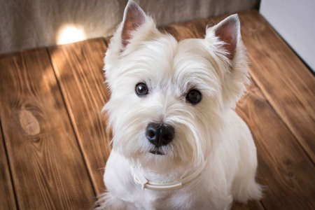 West highland white Terrier sits on a wooden background.