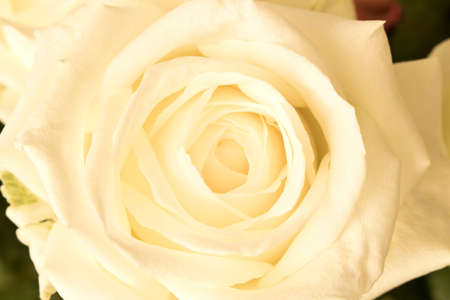 Beautiful white rose. Close up. Concept image for a greeting card Archivio Fotografico