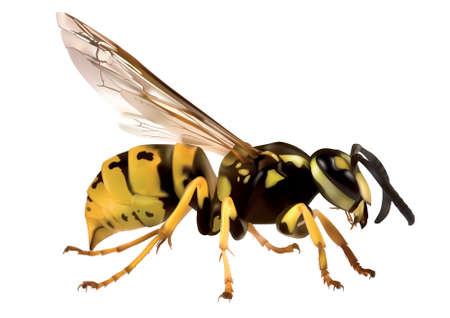 Hornet (Vespa crabro) op witte achtergrond Vector Illustratie