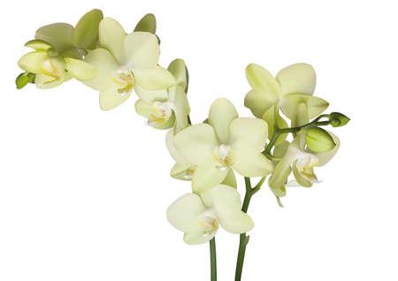yellow beautiful phalaenopsis orchid isolated on white background