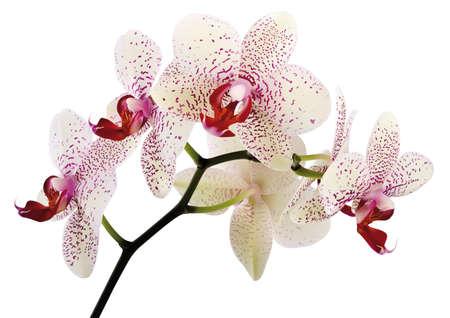 白い背景の上の美しい蘭の花