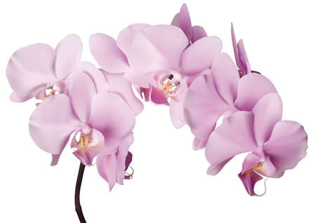 白地にピンクの蘭の花を美しい