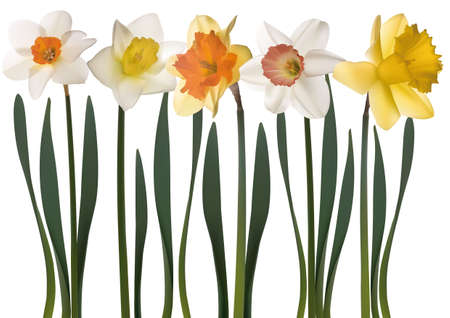 flowerbeds: daffodil flowers on white background