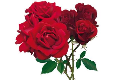 valentinas: Illustration of beautiful red roses isolated on white  Illustration