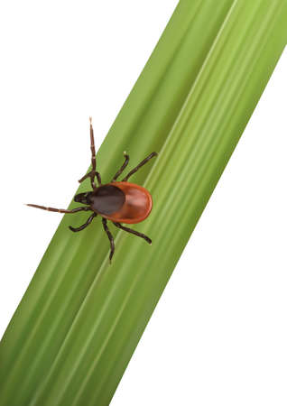 borreliosis: Illustration of a Tick run to victim on leaf